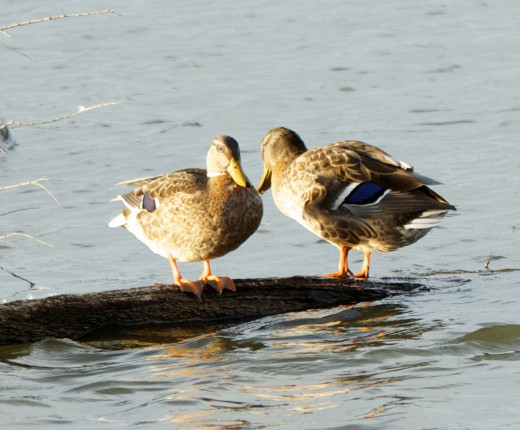 Mallards in Evening Sun