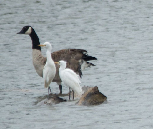 Canada Goose and Two Cattle Egrets