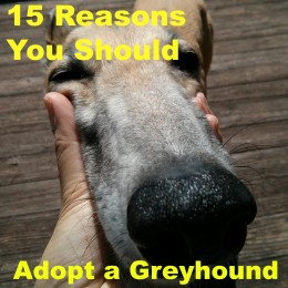 Why should you adopt a greyhound, you ask? There are SO many reasons why!