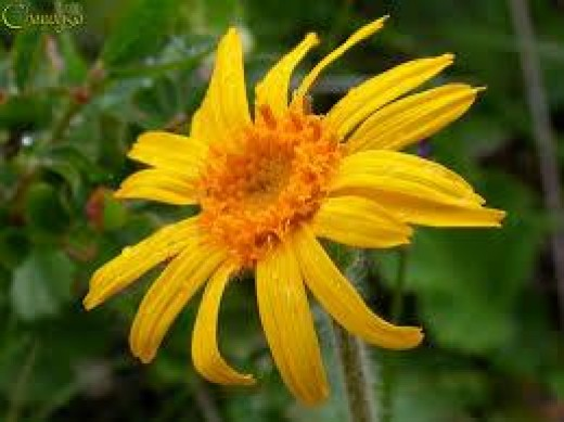 An image of the flower of Arnica montana