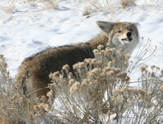A coyote uses it's nose to detect both food and danger.