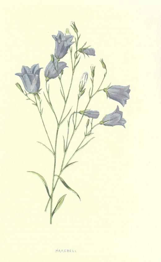 Familiar Wild flowers. {1887}  Courtesy of the BHL.