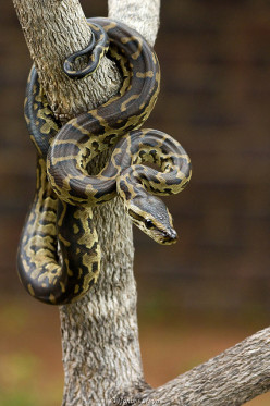 Deadly Exotic Pets: African Rock Pythons Are More Dangerous Than the Burmese Python