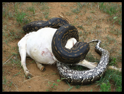 African Rock Python Constricting a Goat