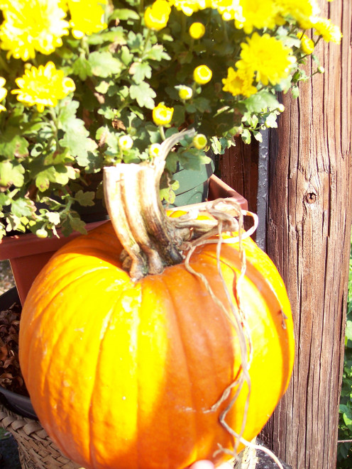 "with the huge varieties and pumpkin patches available they make stunning still life ""models"""