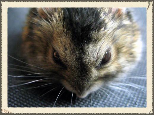 Dwarf Winter Russian Hamster