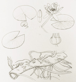 parts of a water lily, including the rhizome at bottom