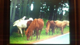 This is just a few of the wild horses that roam freely thoughout Assateaque just outside of Ocean City, Maryland.