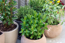 6 Herbs That Could Be Easily Grown in Kitchen Garden