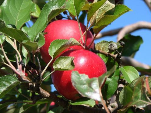 Michigan apples.