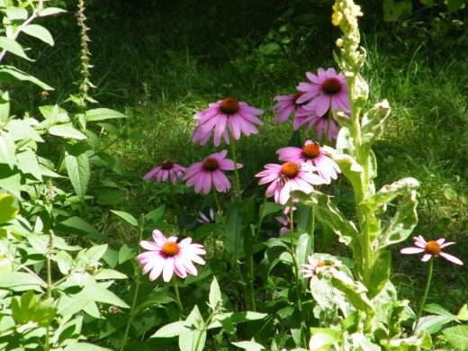 These coneflowers get more beautiful every day - so does my life!