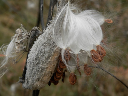 Strange and wonderful milkweed.