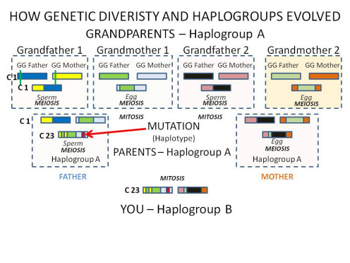 DIVERSITY THROUGH MEIOSIS AND MUTATIONS