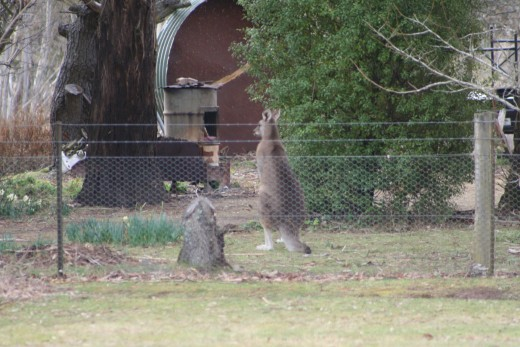 lol. Totally unflustered, the kangaroo was on the garden side of the fence - within metres of a house - in the middle of the day!
