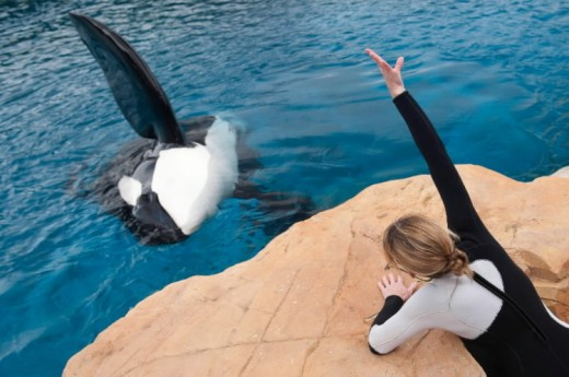 A trainer teaches Tilikum how to wave his pectoral fin.