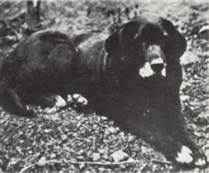 Buccleuch Nell, Lord Malmesbury's  Female Labrador Retriever circa 1880's (or 1850's depending on which site you research), my Duckie's ancestor