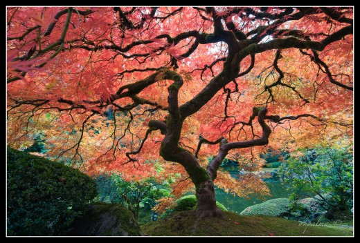 Fall colors in the Japanese Garden.