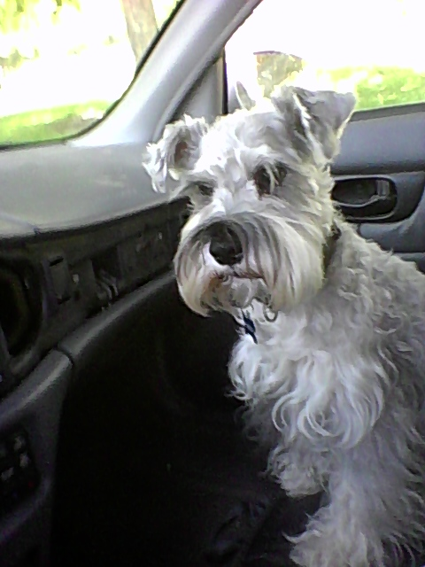 Your schnauzer might benefit from eyebright.