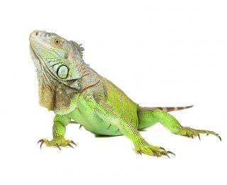 Iguana-as a pet
