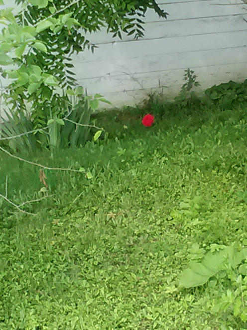 One single rose near an empty house.