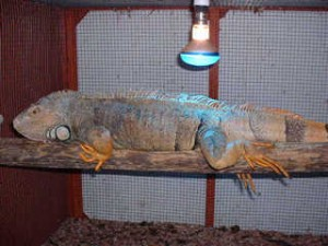 keep your iguana warm