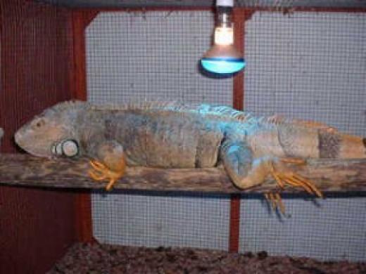 keep your iguana warm