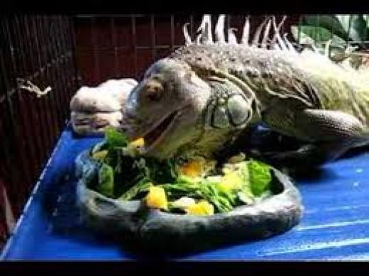 feed your iguana properly