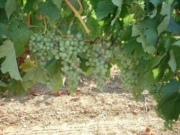 At this crucial time of year, the plant starts devoting energy to grape clusters rather than growing vines and leaves.