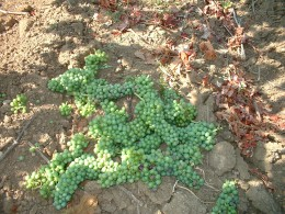 We cut off all the greenest clusters, leaving only a fixed number of the ripest grapes on the vine.