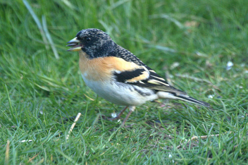 English: Brambling (Fringilla montifringilla), Baltasound Bramblings are close relatives of the Chaffinch but they breed in northern Europe and only rarely breed in Britain. In Shetland they are principally migrants, in both spring and autumn. Males,