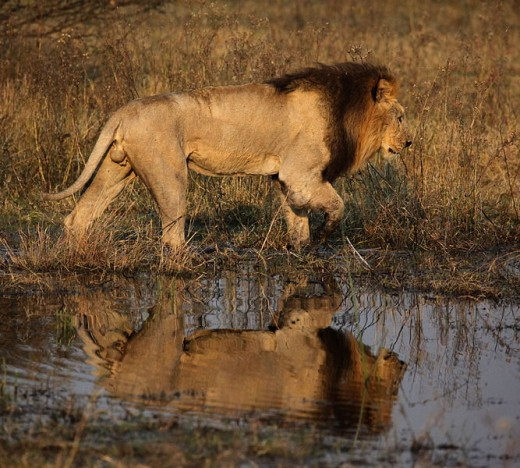 The Lioness of the Delta of Botswana