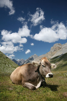 This cow (Swiss Braunvieh breed), below Fuorcla Sesvenna in the Engadin, Switzerland is safe from American chemicals