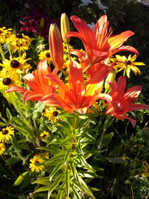 These two perennials make a dynamic combination in the front yard