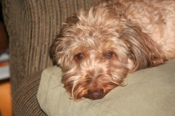 Canine flu: a growing threat in some places