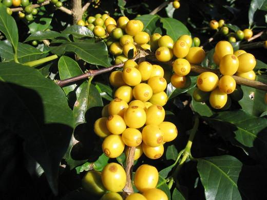 Yellow Bourbon Coffee, a variety of Coffea arabica- São João do Manhuaçu City - Minas GeraisState - Brazil