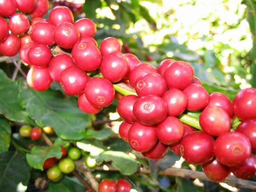 Red Catucaí Coffee, a variety of COFFEA ARABICA - Matipó City - Minas Gerais State - Brazil