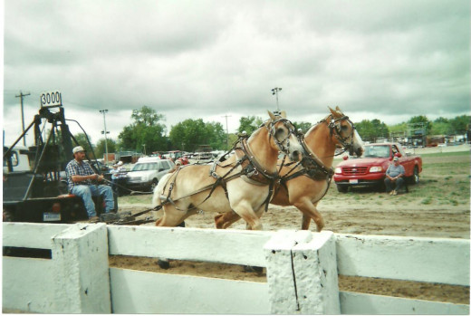 At summer fairs there are truck pulls, tractor pulls, and horse pulls, among others! Here, a pair of draft horses takes a crack at pulling the bargain weight of 3,000 pounds. Pulls at 5,000 pounds, or more, usually win such an event.