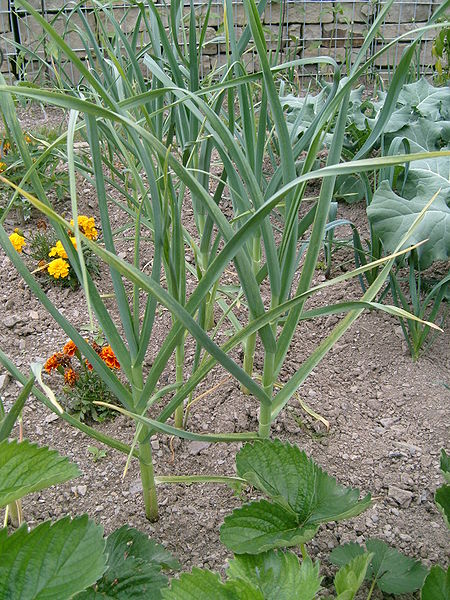 Garlic Allium_sativum_garden