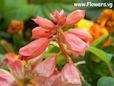 One variety of Salvia