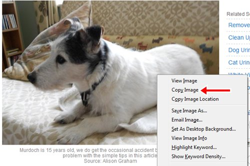 Here is a picture of my dog, Murdoch that I have decided to copy from one of my hubs. Notice the menu that pops up when you position your mouse cursor over the image and then click the right mouse button.
