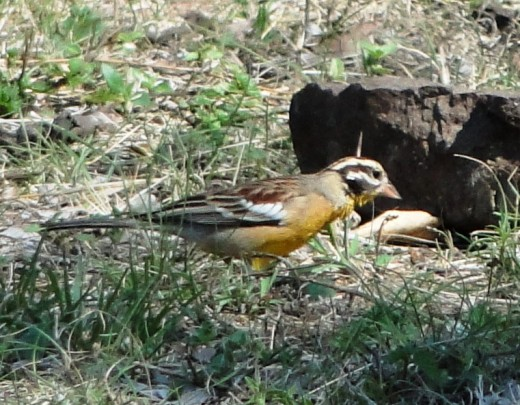 Golden-breasted Bunting-Mlawula