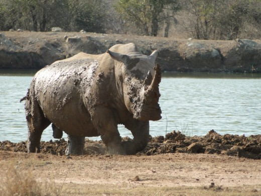 White Rhino in full charge
