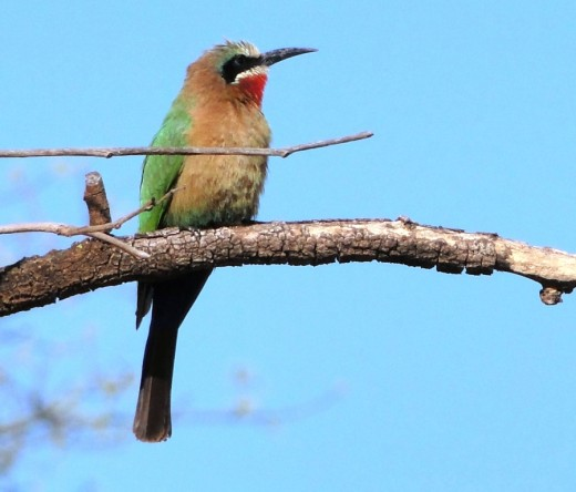 White-fronted Bee-eater- Mlilwane