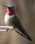 Hummingbirds: Natures own helecopter