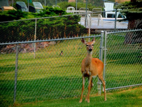 In another photo, this same deer is inside the fence.  Fences must be at least eight feet high to effectively prevent deer from jumping into gardens and yards.
