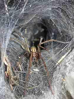 The Giant House Spider (tegenaria duellica)