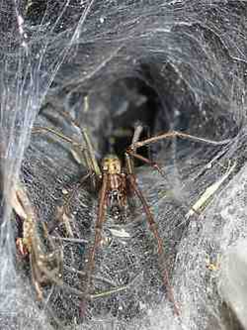 The Giant House Spider (tegenaria duellica)