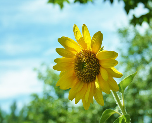 Sunflowers are available in many varieties, from 3-foot cuties like 'Teddy Bear' to tall beauties like 'Russian Giant.'