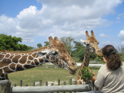Samburu Giraffe feeding station at the Miami Zoo. Giraffe get to eat directly from hands of visitors to the Park.