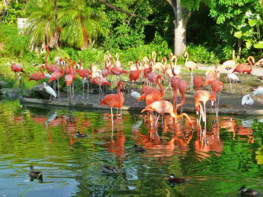 American Flamingos at the Miami Zoo